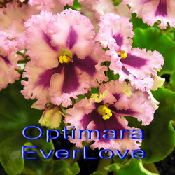 Optimara EverLove