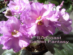 Suncoast Secret Fantasy