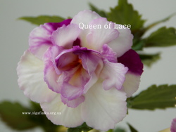 'Queen of Lace'