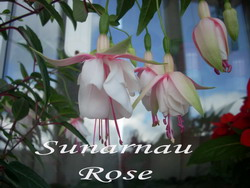 Sunarnau Rose